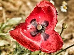 Il fiore di Morfeo (silvia07(very busy)) Tags: red flower petals poppy fiore rosso petali papavero