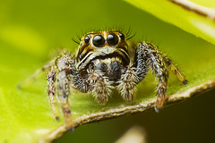 Macaroeris Nidicolens (Little Boy 09) Tags: macro cute canon lens eos spider big jumping eyes wildlife arachnid 17 reverse 50 tamron f28 araigne oooo ultramacro 60d tamronspaf1750mmf28xrdiiildasphericalif sauteuse macrodream