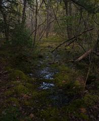 Catamount Swamp. Montague / Wendell, MA (koperajoe) Tags: green wet spring woods spooky swamp irving vernal damp wetland westernmass musty