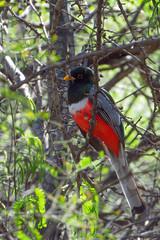 Elegant Trogon (Debbi Brude) Tags: birds eleganttrogon patagonialakestatepark