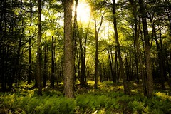 Poetic (SaltyDogPhoto) Tags: trees light sun sunlight nature forest photography woods nikon shadows pennsylvania pa sunburst ferns nikkor lightandshadow intothesun photooftheday hickoryrunstatepark intothelight nikonphotography nikkorafs1855 nikond7200 saltydogphoto