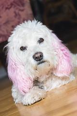 My therapist (aivzdogz) Tags: pink dog pet pets white cute dogs animal animals mutt mix fluffy spaniel bichon frise cocker