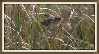 Saltmarsh Sparrow (Ammodramus caudacutus) SALS - Getting Ready to Barely Fly and Mostly Run...