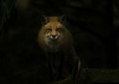 Red Fox (ChristinaAnne.M) Tags: canada nature animals outdoors spring nikon quebec montreal wildlife sigma fox wildlifephotographer naturephotography redfox wildlifephotography naturephotographer renardroux d7000 nikond7000 spring2016