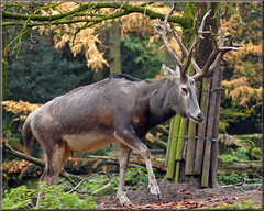 Pre David's deer (Foto Martien) Tags: germany deutschland zoo asia sony doe deer fawn bok info buck information description nordrheinwestfalen hind duitsland a77 hert dierentuin milu dierenpark northrhinewestphalia zooduisburg elaphurusdavidianus paterdavidshert predavidsdeer  fatherdavid davidshirsch martienuiterweerd cerfdupredavid armanddavid cervodipadredavid fotomartien  ciervodelpadredavid hertenbok sonyslta77v sonyalpha77 eastcentralchina geotaggedwithgps elaphure tamron70300mmf456sp jeledavida  schoffelaar m  cervodopadredavid northeasterncentralchina rusapredavid miluchiski