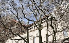 Jaro na Hrad (roj czech) Tags: tree spring prague blossom praskhrad strom hradany jaro praguecastle kvt