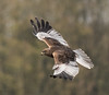 Marsh Harrier - Leighton Moss by Stephen Childs, on Flickr