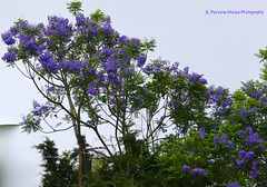 Jacaranda Flowering, El Salvador (ssspnnn) Tags: arbol elsalvador arvore jacarand sansalvador bignoniaceae jacarandamimosifolia canoneos70d spereiranunes snunes spnunes