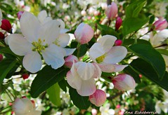 Flores del manzano (kirru11) Tags: espaa flores hojas cielo rbol quel canonpowershot ramas larioja flordelmanzano kirru11 anaechebarra
