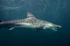 DSC03775 (emmanrog) Tags: animales marino acuario tiburn