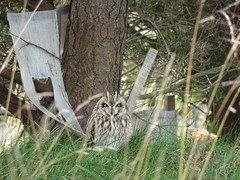 Short eared owl in grass on Broad Hill, Aberdeen Beach (iainh124a) Tags: uk scotland sony cybershot aberdeen sonycybershot iainh124a dx90 dschx90 dschs90v dx90v