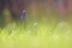 The colours of spring (Pog's pix) Tags: pink flowers blue flower green nature grass outside outdoors scotland spring haze purple bokeh outdoor flowering softfocus dreamy backlit colourful hazy grapehyacinth renfrewshire kilbarchan