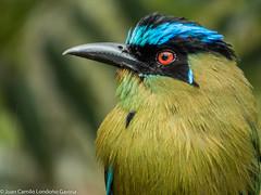 Barranquero Andino - Momotus aequatorialis (Juan Camilo Londoo Gaviria) Tags: bird free panasonic ave pajaro aire libre pereira momotusaequatorialis barranqueroandino juancamilolondoogaviria