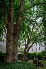 Open Garden Squares 2015 - 1806.jpg (DavidRBadger) Tags: city london planetree gianttree 2015 cityofwestminster londonplanetree urbansquare opengardensquares thereformclub carltonhouseterracegarden