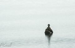 Little Shag (Phalacrocorax melanoleucos) (PJEnsell) Tags: lake blur reflection water birds animal wildlife minimal lonely taupo absent shag milky ornithology minimalist challenge photographychallenge