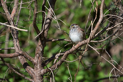 White-throated Sparrow on Branch (Jersey Camera) Tags: bird birds sparrow whitethroatedsparrow zonotrichiaalbicollis
