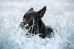 I ate a green spectrum (DigitalBite) Tags: dog white black grass contrast canon eyes bright gsd germanshepherddog postprocessing blackgsd 5dmarkiii 100mmf28macrolis