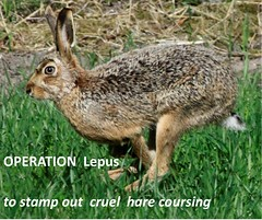Report on crackdown on hare coursing in Scotland (BSCG (Badenoch and Strathspey Conservation Group)) Tags: hare strathy wildlifecrime lepuseuroapeus specieschamp