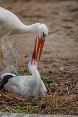 Nesting Stork (Vincent1825) Tags: animals pentax ani 200mm louisvillezoo