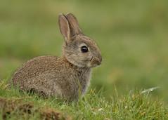 Rabbit (Gary Faulkner's wildlife photography) Tags: rabbit pulboroughbrooks rspbreserve