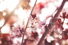 Cherry Blossoms (Mariana Warne) Tags: california pink flowers tree nature 50mm spring naturallight lensflare cherryblossom softtones canonrebelt2i