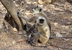 Ugly Baby! (cn174) Tags: india nationalpark tiger tigers rajasthan ranthambhore tigerreserve ranthambhorenationalpark ranthambhorebagh