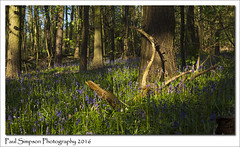 Bluebell Woodland (Paul Simpson Photography) Tags: flowers trees plant flower nature grass bluebells petals outdoor lincolnshire flowering scunthorpe springtime naturephotography signsofspring springflower blueflowers photosof imageof photoof imagesof sonya77 paulsimpsonphotography showmephotosofflowers showmephotosofspring