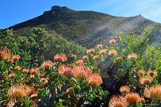 Fynbos at Fernkloof, Hermanus, South Africa