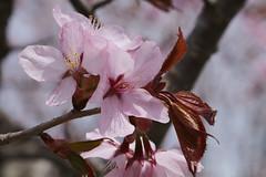 Cerasus sargentii   (ashitaka-f) Tags: pink flower japan cerasus rosaceae  sargentii