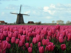 2016-04-20_09-24-01 (peeteninge) Tags: pink flowers flower holland mill nature tulips mills bloemen molen tulpen roze molens