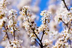 (Alin B.) Tags: flower tree nature spring branch blossom april scent aprilie primavara cherryplum alinbrotea