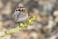 Blue Pansy Butterfly (Ma3eN) Tags: blue butterfly insect uae pansy rasalkhaimah almunaei