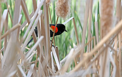 Hiding In The Cattails (jrussell.1916) Tags: red black nature birds yellow spring wildlife cattails redwingedblackbirds canonef70200f4lis14tc