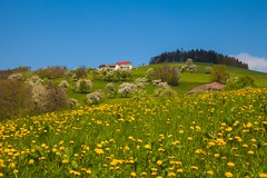 _MG_0182 (TobiasW.) Tags: austria blossom blossoms pear flowering blte niedersterreich obersterreich blten 2016 birnbaum upperaustria loweraustria mostviertel birnbaumblte weises moststrasse moststrase peartee