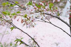 20160410-DSC_8508.jpg (d3_plus) Tags: sky plant flower history nature japan trekking walking temple nikon scenery shrine bokeh hiking kamakura fine daily bloom  28105mmf3545d nikkor    kanagawa   shintoshrine   buddhisttemple dailyphoto   thesedays kitakamakura  28105   fineday   28105mm  historicmonuments  zoomlense ancientcity       28105mmf3545 d700 281053545 nikond700  aiafzoomnikkor28105mmf3545d 28105mmf3545af aiafnikkor28105mmf3545d