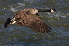 IMG_6170 Canada Goose (cmsheehyjr) Tags: bird nature virginia wildlife richmond goose canadagoose brantacanadensis floodwall colemansheehy cmsheehy
