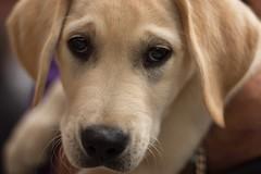 Canine partner pup (judethedude73) Tags: cute puppy fur golden eyes labrador pup