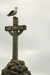 IMG_4132(1) (Roving_photographer) Tags: newzealand memorial mission methodist northland kaeo wesleyan larus dominicanus