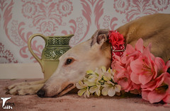 Still Life With Hound (houndstooth4) Tags: dog greyhound bunny ddc odc 1752 day115366 52weeksfordogs dogchal 366the2016edition 3662016 24apr16