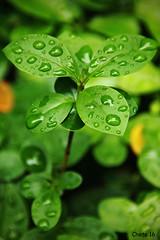 Green is the new black (photoschete.blogspot.com) Tags: color macro verde green primavera colors canon hojas eos drops spring natural sigma gotas 70d