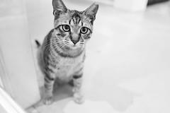 Kitty (jasoncremephotography) Tags: leica blackandwhite monochrome cat kitten feline 28mm q summilux leicaq typ116
