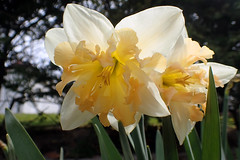 P4280001B (The Real Maverick) Tags: toronto ontario canada highpark outdoor daffodils torontoparks olympustg3