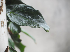 89/366 Dew (JessicaBelotto) Tags: macro nature rain photo foto exterior natureza chuva dew fotografia folha projeto detalhe fotogrfico orvalho fotografando 366daysofhoney 366diasnoano