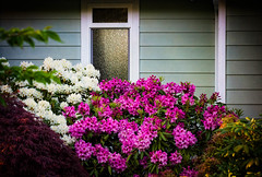 April Window (Colormaniac too) Tags: flowers house window architecture spring colorful blossoms olympicpeninsula sequim rhododendron april pacificnorthwest washingtonstate springtime perennial blooming rhodys distressedtextures flypapertextures