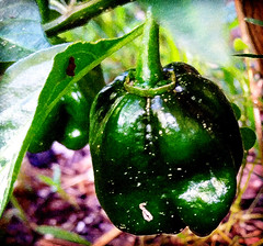 Bring The Heat (netaloid) Tags: vegetables garden painting spring gimp chilies