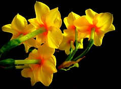 Hot Daffodils (Pufalump) Tags: red black macro green nature yellow back petals glow daffodil