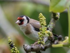 30 04 2016 (cathyk31) Tags: bird oiseau cardueliscarduelis europeangoldfinch chardonneretlgant fringillids passriformes