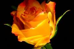 DSC_3932 - rosa (JR1994) Tags: flower rose brasil flor rosa 2016 jr1994 d7000