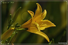 Fiore giallo - Aprile-2016 (agostinodascoli) Tags: macro texture nature nikon giallo nikkor fiore sicilia cianciana