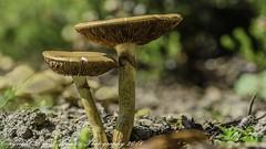 Flat Topped Mushroom (dschultz742) Tags: flowers macro bokeh tokina d810 04292016 flattoppedmushroom